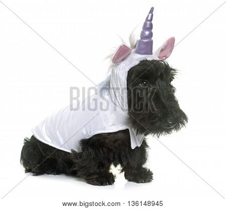 puppy scottish terrier unicorn in front of white background