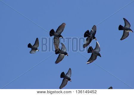 Young pigeons flying in the blue sky
