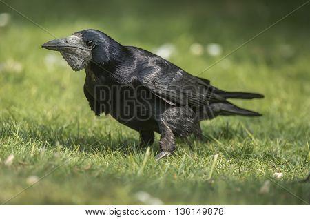 Rook, Corvus Frugilegus, On The Grass, Close Up