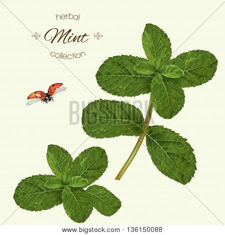 Vector realistic illustration of mint with ladybug. Isolated on light green background. Design for tea, essential oil, natural cosmetics, seasoning, aromatherapy.Can be used as summer design element.