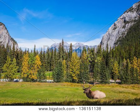 Red deer with branchy horns resting on the bank of creek. Autumn day in the Canadian Rockies