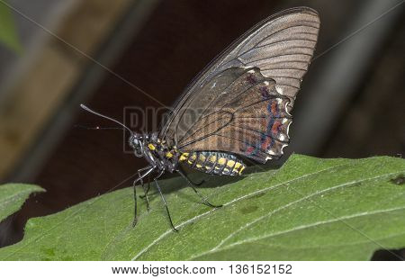 Belus Swallowtail Butterfly on a leaf with closed wings