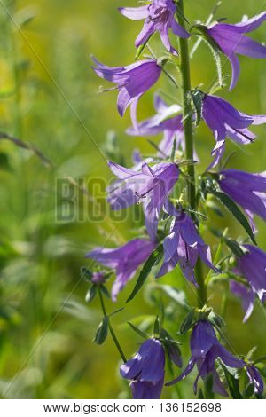Bluebell Flowers On Summer Meadow