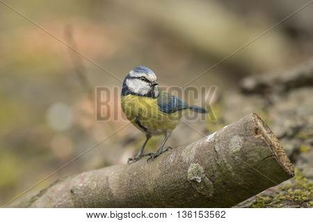 Blue Tit Cyanistes Caeruleus, Perched On A Log