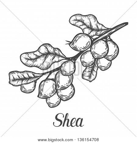 Shea Nuts Plant, Berry, Fruit Natural Organic Butter Ingredient. Hand Drawn Vector Sketch Engraved I