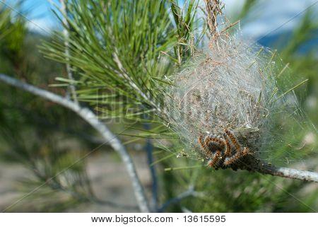 Processionary Pest
