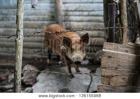 Old barbed wire with blurred brown pig behind