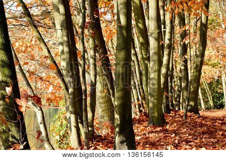 Autumn season nature background with tall tree trunks and ground covered with fallen leaves