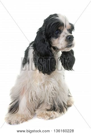 old american cocker in front of white background