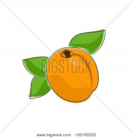 Apricot Isolated on White Background, Fruit Apricot, Vector Illustration