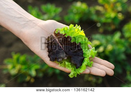 Gardening Topic: Human Hand Holding Green Lettuce Leaves And Red