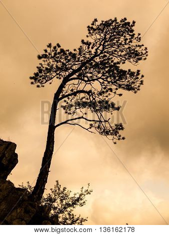 Small pine tree on the rock. Dark tree silhouette on warm sky background.