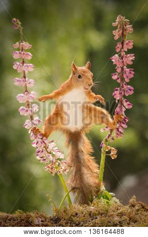 red squirrel standing between 2 lupine flowers with spread legs with blurry hand