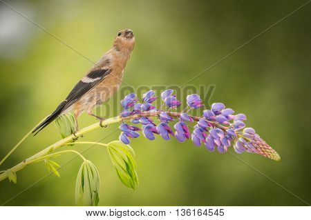 young bullfinch standing on a purple lupine branch