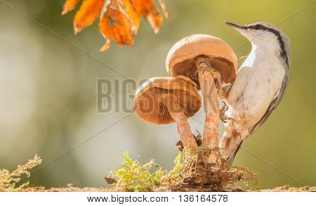 nuthatch standing on a mushroom watching up