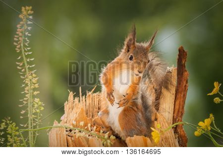 red squirrel standing on wood looking to camera