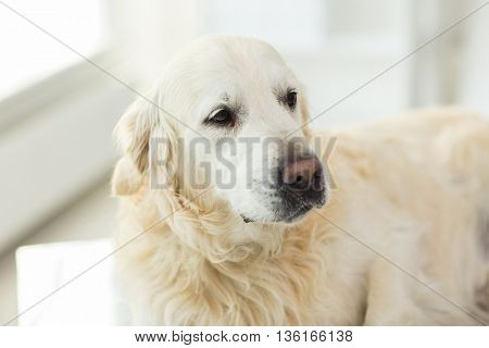 medicine, pets, animals and health care concept - close up of golden retriever dog at vet clinic