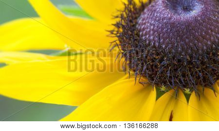 Black eyed Susan in bloom seen at an up close angle
