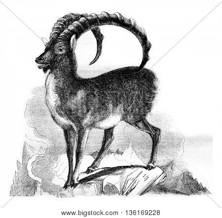 The Ibex, vintage engraved illustration. Magasin Pittoresque 1836.