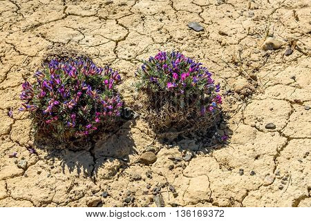 Scenic view with bushes of blue and pink flowers Dracocephalum on a background of dry ground with cracks on a sunny summer day