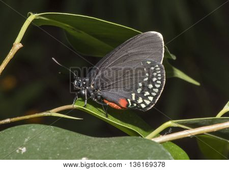 Atala butterfly on a leaf with closed wings