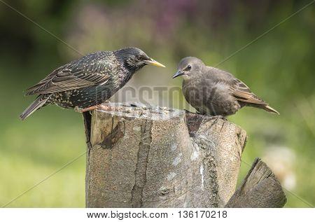 Starling Sturnus vulgaris juvenile and adult on a tree stump