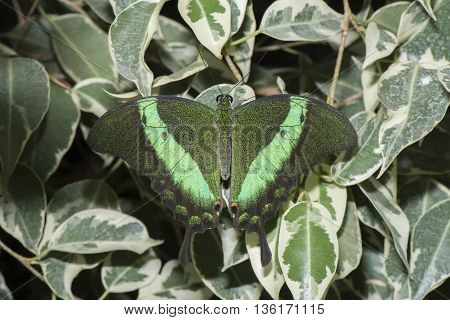 Emerald Swallowtail Butterfly on a plant with open wings