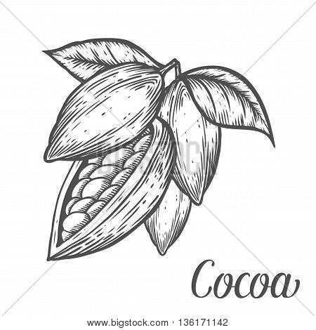 Cacao Hand Drawn Cocoa Botany Vector Illustration. Doodle Of Healthy Nutrient Food. Cacao Cocoa Engr