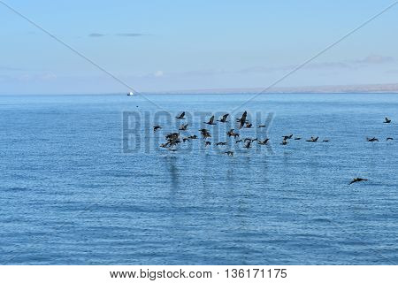 Flock of the Cape cormorants or Cape shag (Phalacrocorax capensis) in Luderitz bay small fishing boat in background at sunrise Namibia Africa