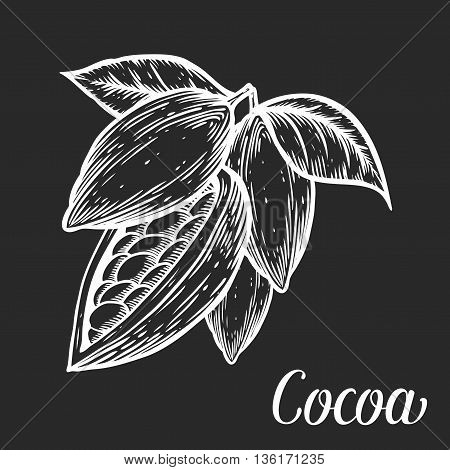 Cacao Hand Drawn Cocoa Botany Vector Illustration. Blackboard Doodle Of Healthy Nutrient Food. Cacao
