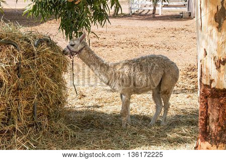 Llama feeding on hay in outdoor agricultural setting in Western Australia.