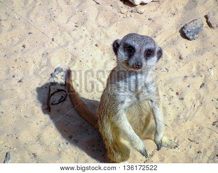 Meerkat Standing On Sand