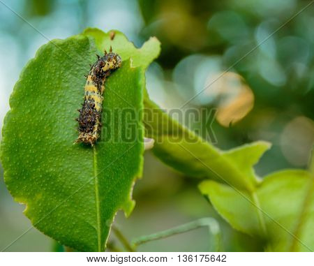 Black worm on the leaves lemon tree
