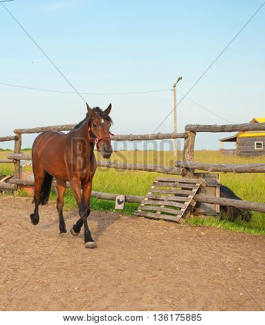 The horse gallops on arena in the village