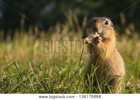 gopher sitting on the grass and eat bread