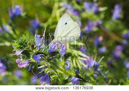 close photo of the small white butterfly feeding on the blooms of blueweed