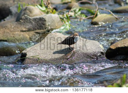 white-throated dipper standing on the stone in the river