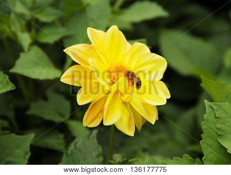 close photo of a bee feeding on the yellow bloom of Chrysanthemum