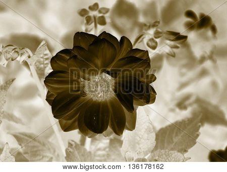 close negative photo beautiful bloom of Chrysanthemum in ochre tones