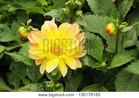 close photo beautiful yellow bloom of Chrysanthemum
