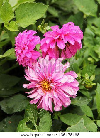 close photo of some pink blooms of Chrysanthemum