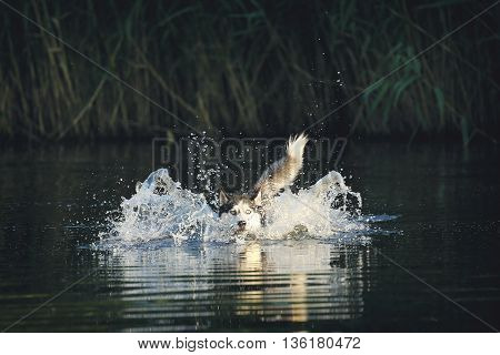The dog in the water. Blue-eyed Siberian husky floats.