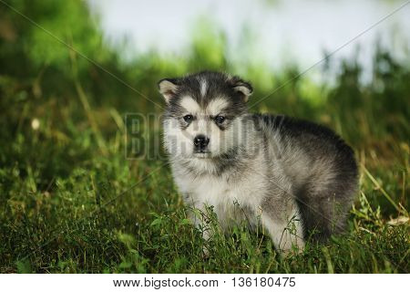 Little puppy of breed Alaskan Malamute sitting in the grass.