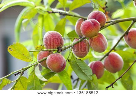 Ripe red and yellow peaches on branch