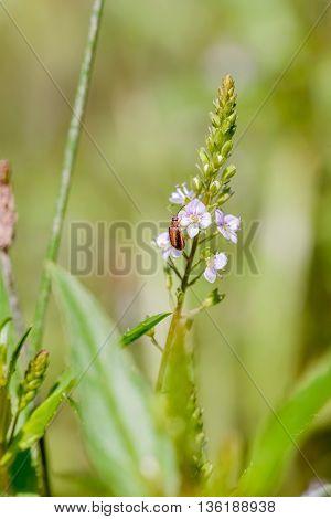 Purple Loosestrife Beetle On A Water Speedwell Flower