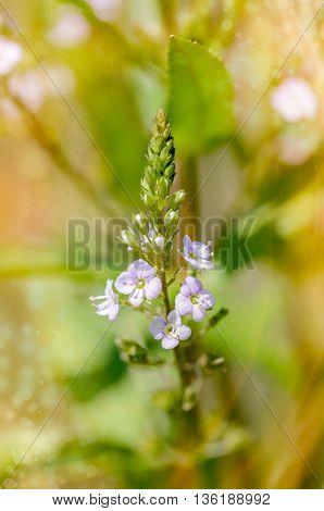 Veronica, Water Speedwell Flower