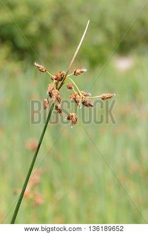 Schoenoplectus Flower