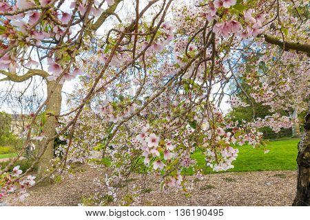 Blossom Landscape Pink Trees Were Underneath The Light In Botanical Gardens, Edinburgh