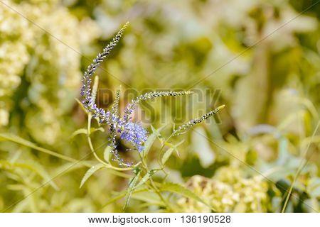 Pseudolysimachion Longifolium (veronica Longifolia)