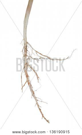 light plant root isolated on white background